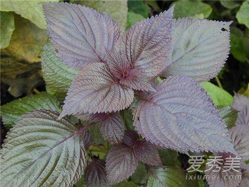 紫蘇葉的功效與作用 紫蘇葉泡腳有什麼功效 - 康途健康百科