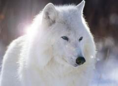 fonds d ecran loups categorie