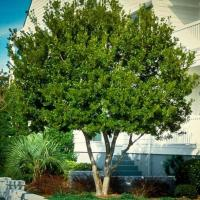 latest types of evergreen hedges