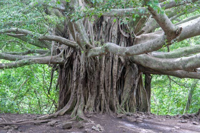 Image Result For Old Hawaiian Coffee