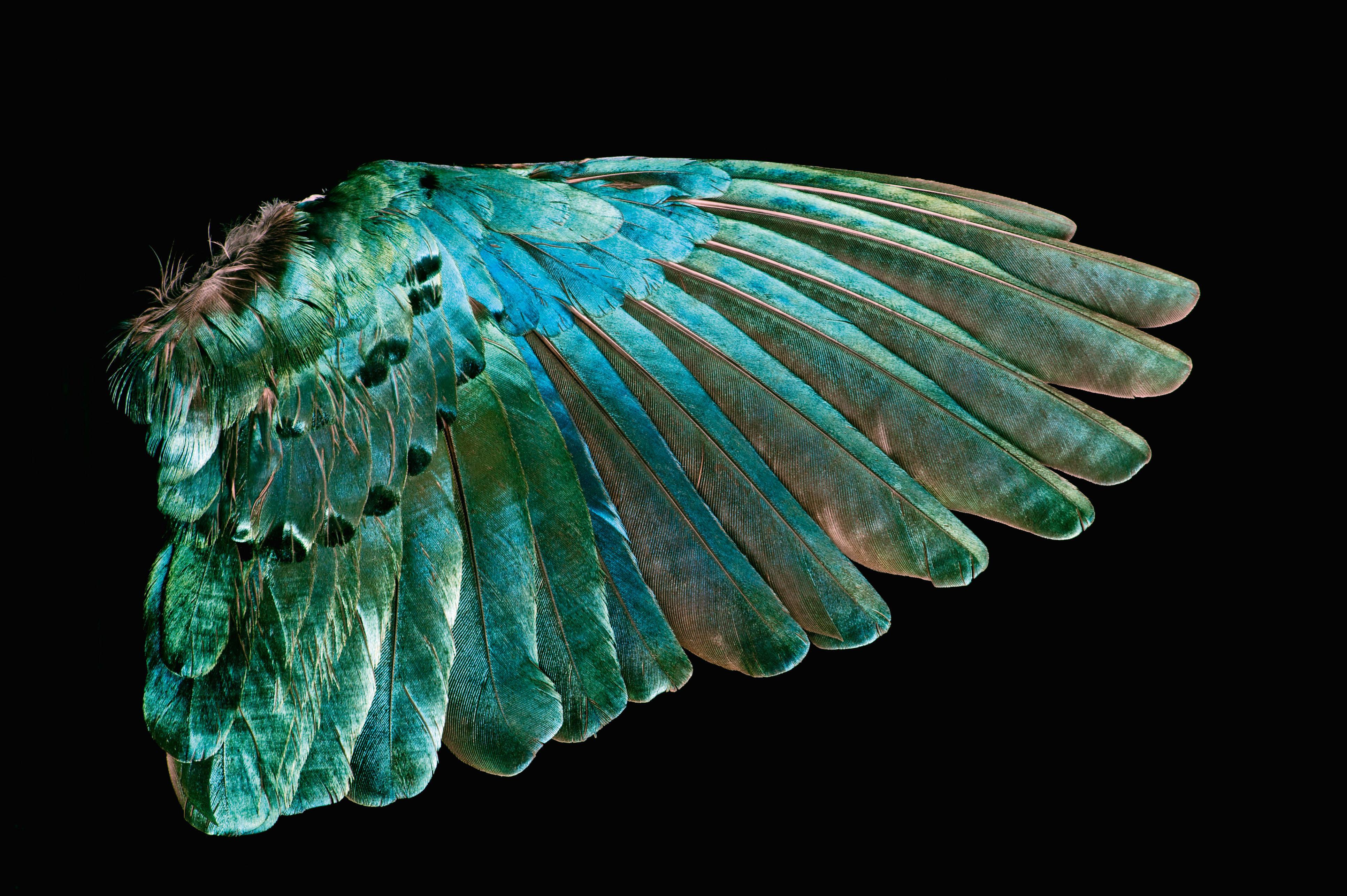 peacock bird diagram 1986 toyota mr2 radio wiring hypnotic book surveys the natural beauty of wild
