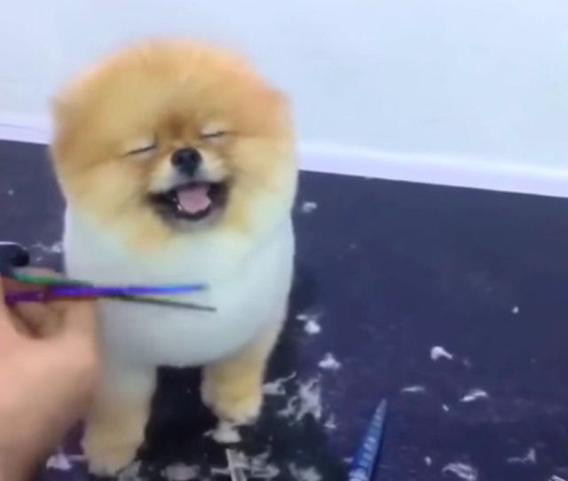 You Will Never Feel As Good As This Pomeranian Getting A Haircut Huffpost