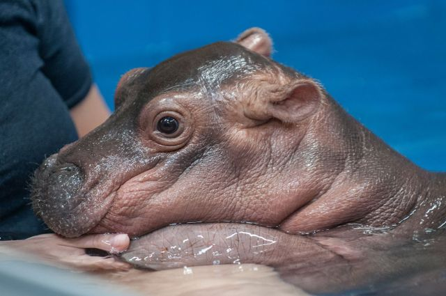 For Cincinnati Zoo's Baby Hippo Fiona, Every Day Brings New