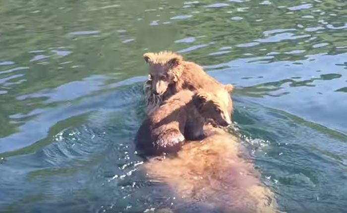 Adorable Bear Cubs Hitch A Ride On Moms Back Across An
