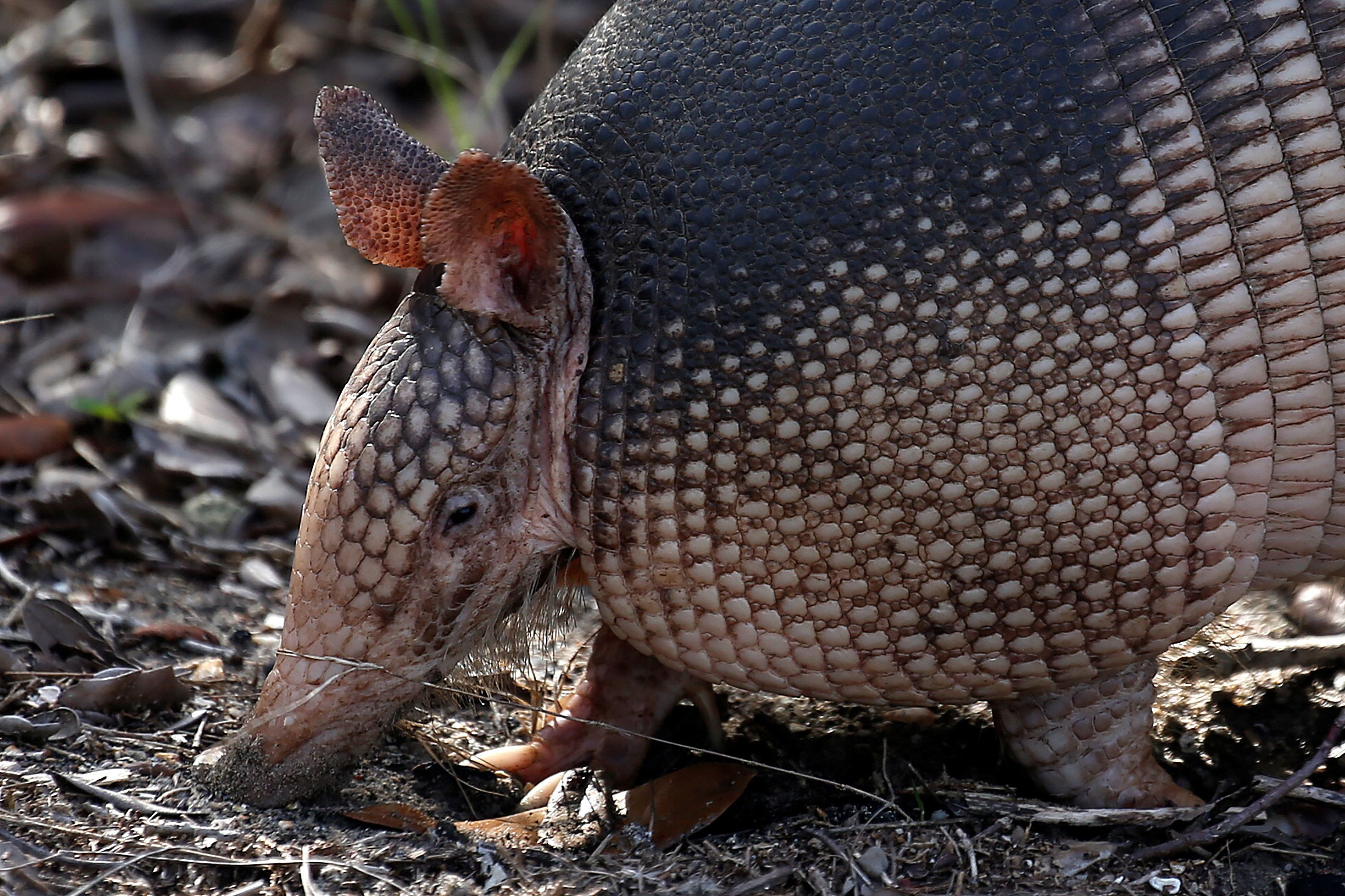 texas man shoots armadillo