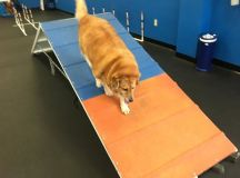 Strudel The Obese Dog's Fitness Journey Is Nothing Short Of Inspiring images 1
