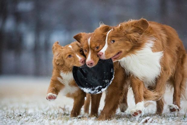 """<strong>Third Place</strong><br>""""Snowy Shenanigans""""<br>Daffy, Taz and Wile E. (left to right); Nova Scotia duck tolling retri"""