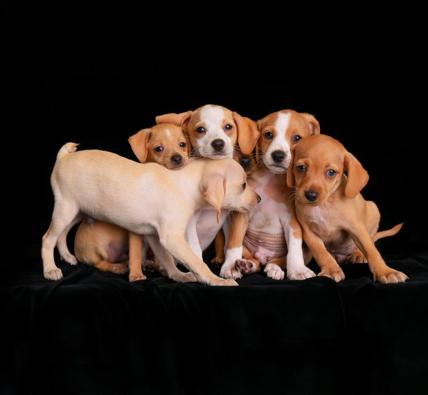 "<strong>Second Place</strong><br>""Sticking Together""<br>Beagle mix puppies, U.S."