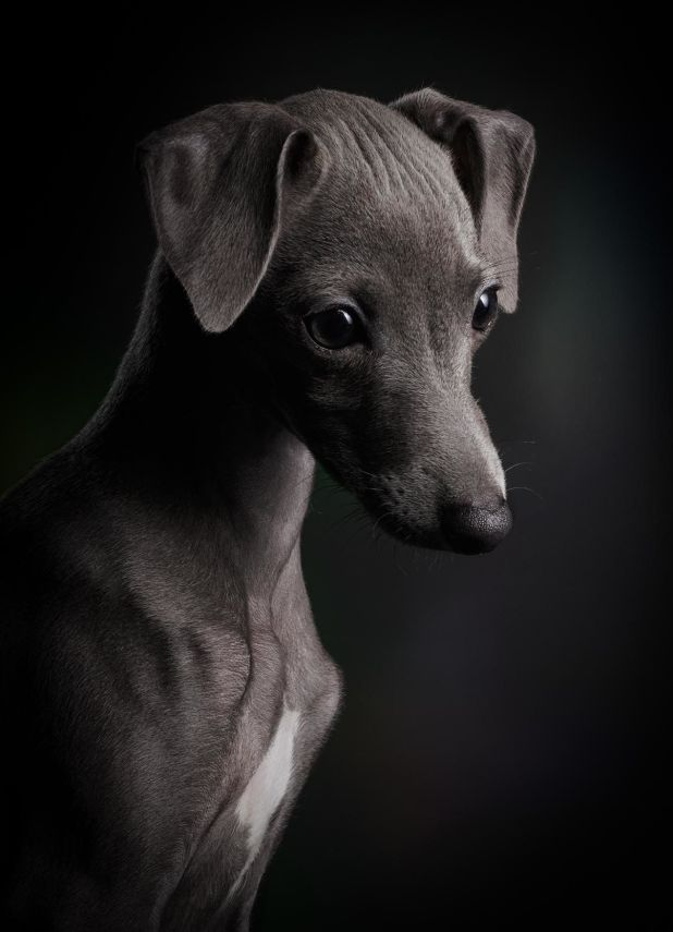 """<strong>First Place</strong><br>""""Little Ceylin""""<br>Ceylin, Italian greyhound, Germany"""
