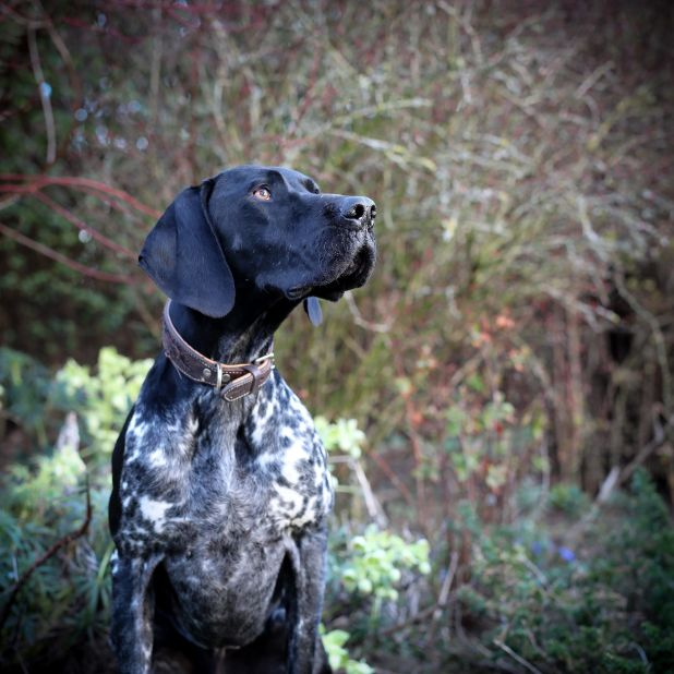 """<strong>Third Place</strong><br>""""Monty""""<br>Monty, German shorthaired pointer, U.K.<br>Photographer Maisie Mitford is 11 years"""