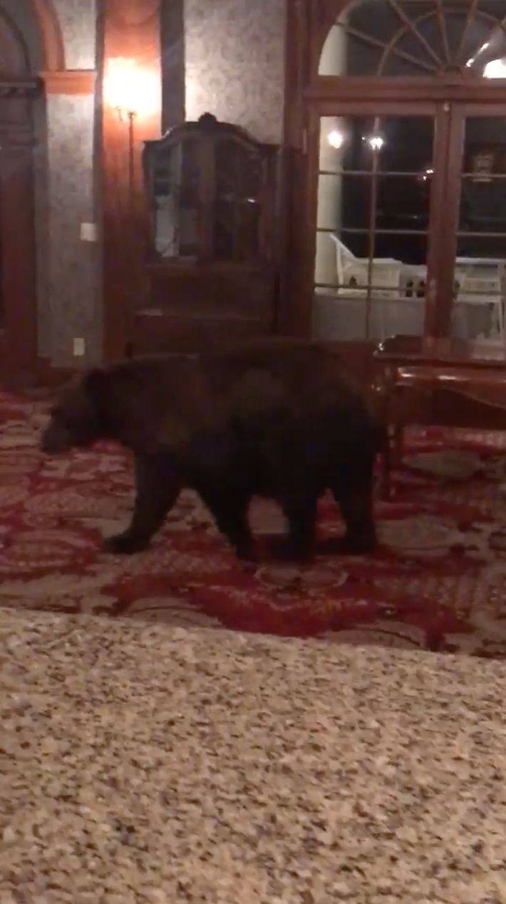 Black Bear Wanders Hotel Inspired '