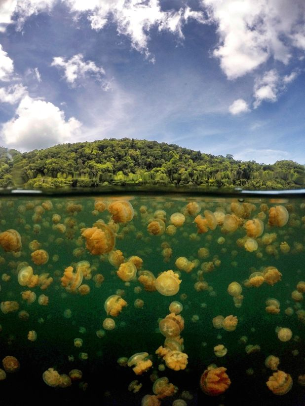 On an uninhabited cliff island at Koror, Palau, Jellyfish Lake in one of the 70 saltwater lakes