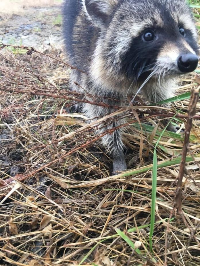 One of the raccoons trapped by police in Milton, West Virginia, last week.