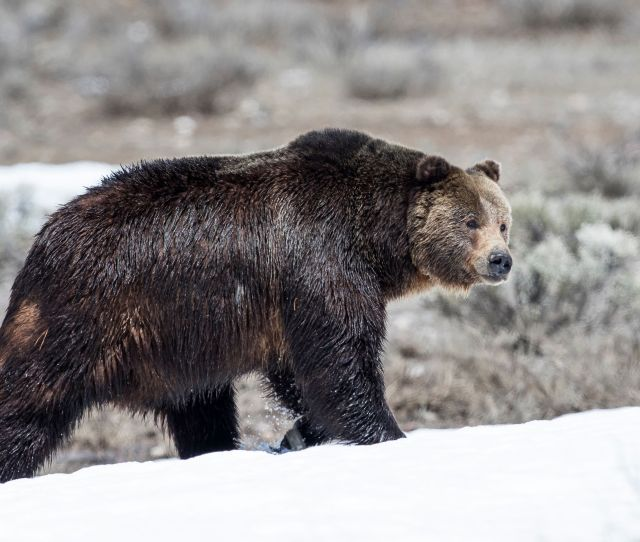 Mom And Baby Mauled To Death By Grizzly Bear Outside Their Remote Cabin Huffpost