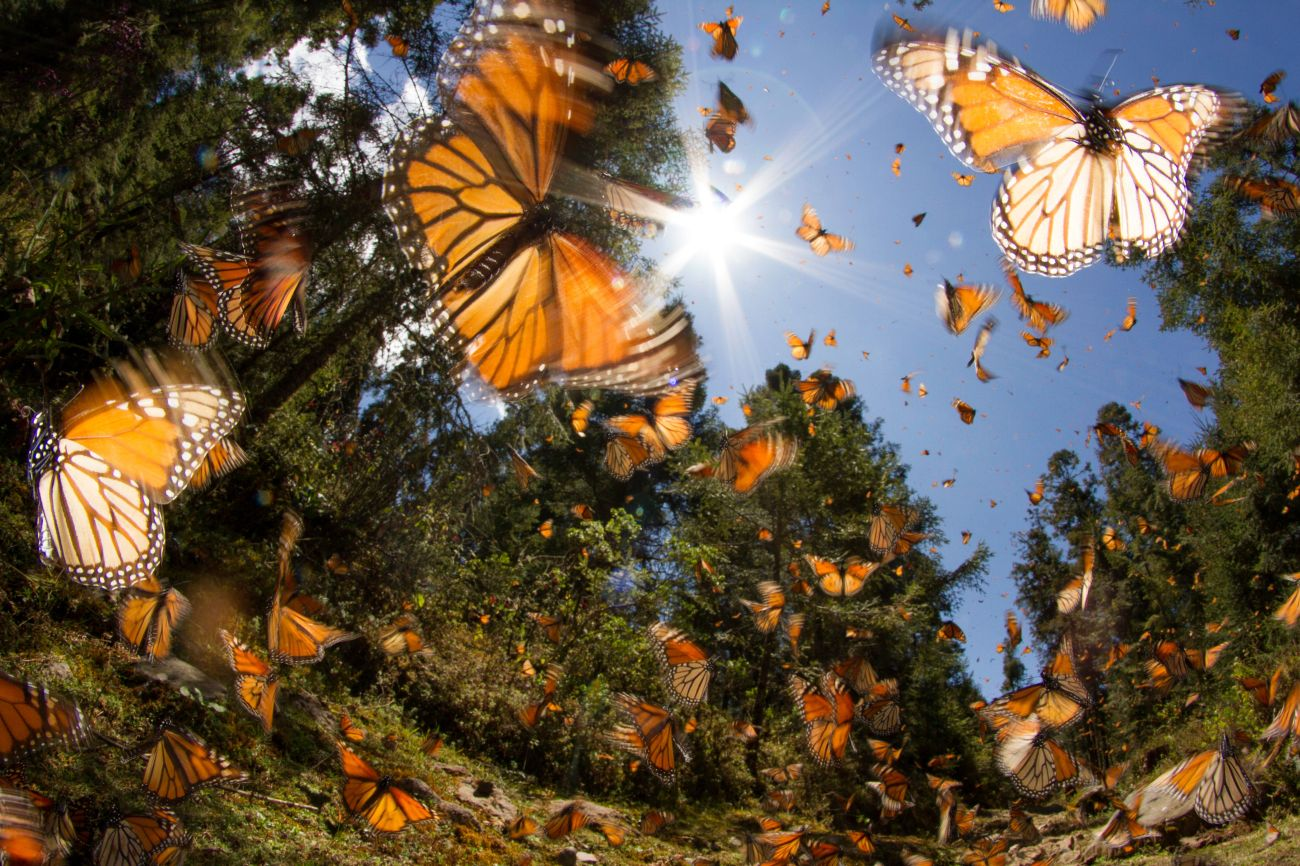 Monarch butterflies in Mexico.