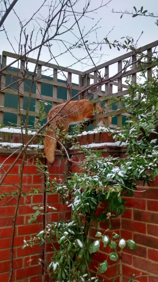 This fox was freed after getting its head stuck in wooden trellis paneling at a home in Essex in March.