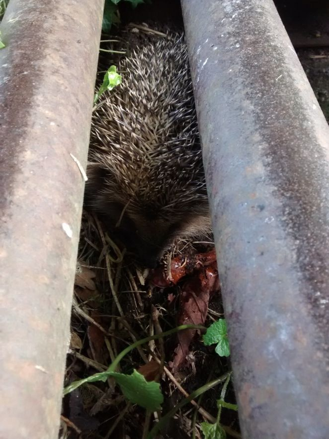 RSPCA officials said these two hedgehogs fell into a cattle grid while mating in Warwickshire in May. Fire crews were called