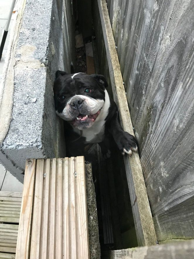 Welsh bulldog Roxy got stuck between a wall and a fence in Wales in November.
