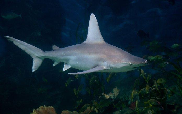 Ο σταχτοκαρχαρίας...