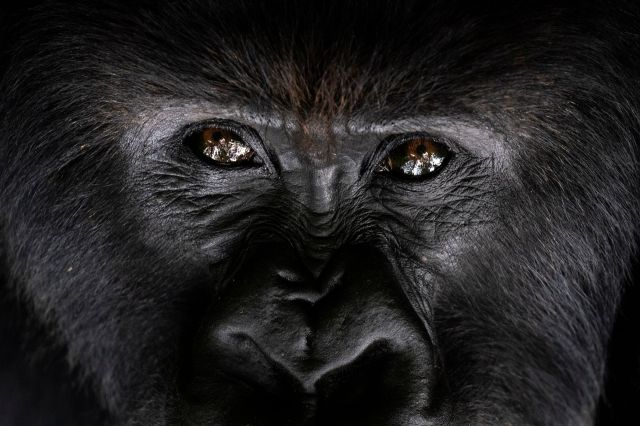 The late American primatologist Dian Fossey, who began the world's longest-running gorilla study here in 1967, would li
