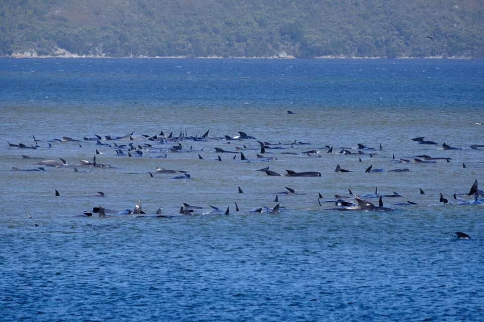 Huge Rescue Operation Underway To Save Whales Stranded On Tasmania's West Coast