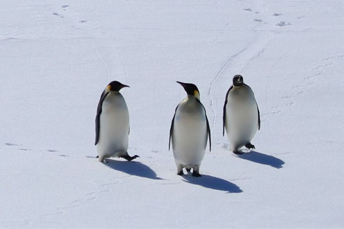 """Emperor penguins are """"in danger of extinction in the foreseeable future in a significant portion of its range,"""" the FWS"""