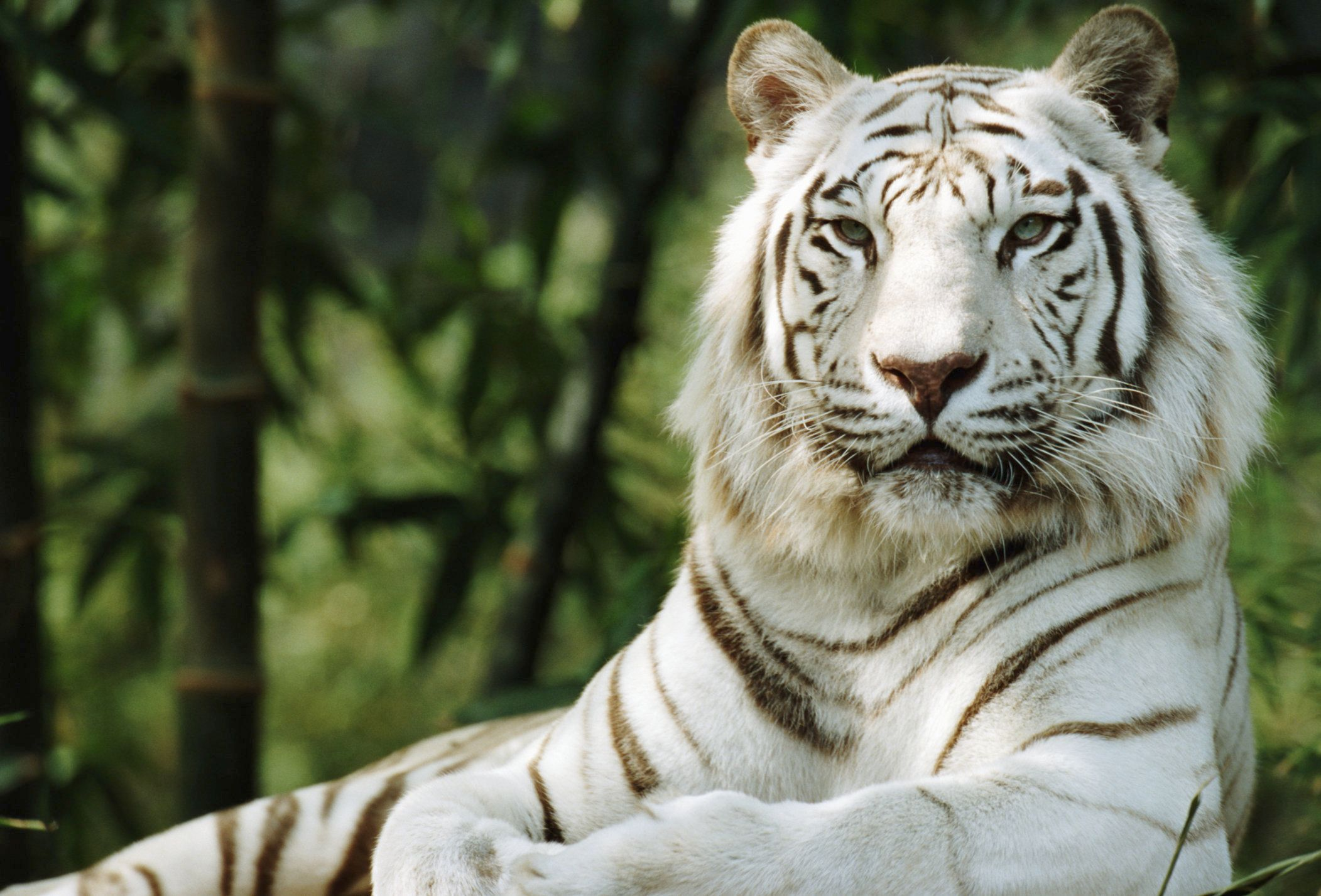 White Tigers Arent An Endangered Species Or A Species