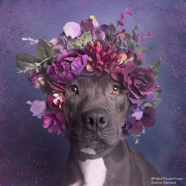 Pit Bulls In Flower Crowns Result In A Seriously Heart
