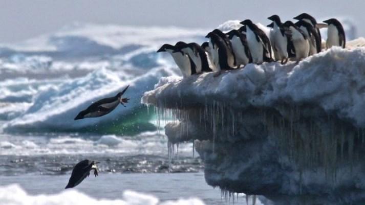 Pingüino de adélia