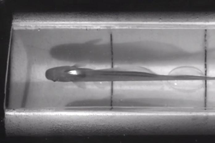 937f75b37 Cientistas fazem experimento com peixe utilizando realidade aumentada