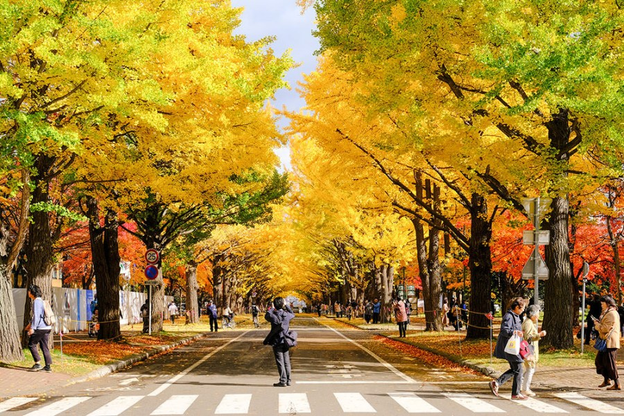 北海道・札幌|金黃銀杏隧道鋪天滿開,在這麼美的大學上課也太幸福了|北海道大學