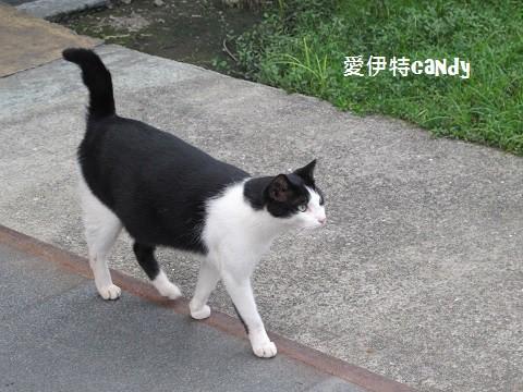 『新北瑞芳_侯硐(猴硐)貓村』隨處可見小貓穿梭其中,愛貓人士必去景點