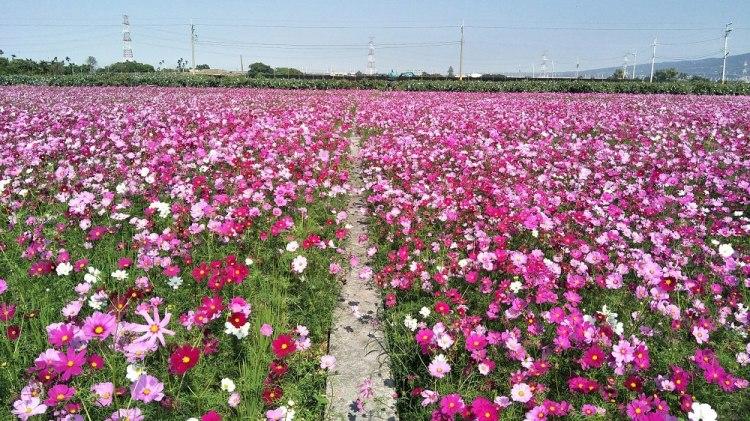 『季節限定_田中波斯菊花海』不看稻草人,來看整片波斯菊&油菜花田吧!