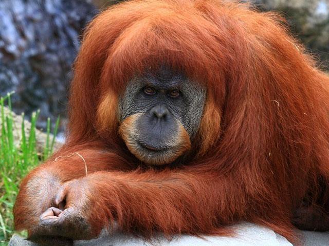 世界上最憨態可掬的哺乳類動物「紅毛猩猩」-趣讀