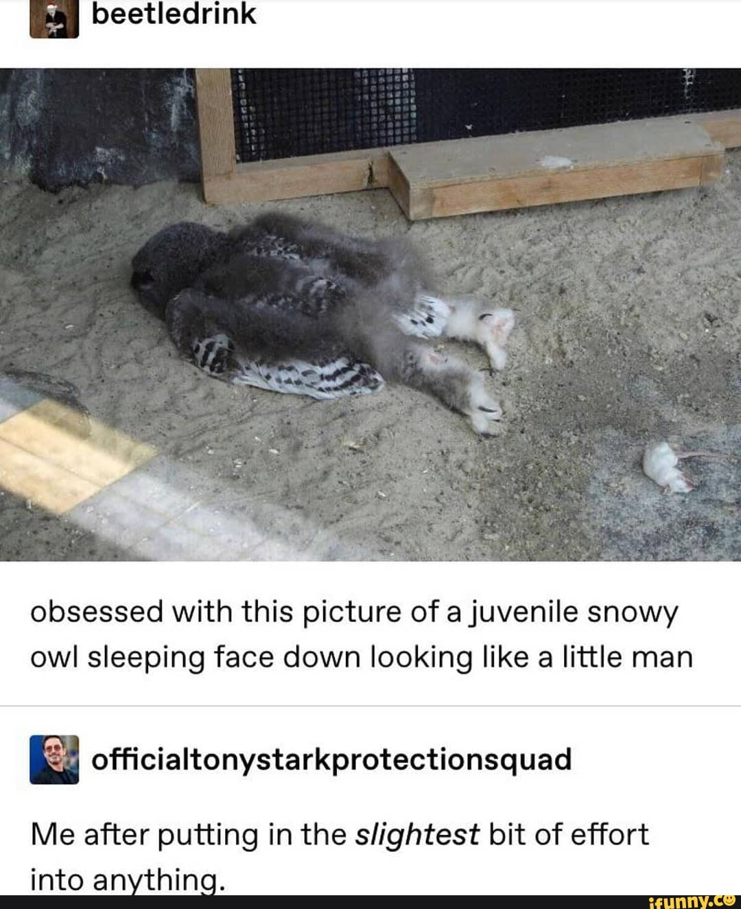 Snowy Owl Sleeping : snowy, sleeping, Obsessed, Picture, Juvenile, Snowy, Sleeping, Looking, Little, Officialtonystarkprotectionsquad, After, Putting, Slightest, Effort, Anything., IFunny