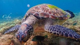 菲律賓杜馬蓋地|潛水必去阿波島Apo Island找海龜游泳!超療癒和海龜的初次見面
