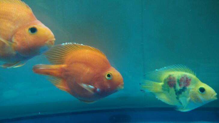 家里養什么魚招財風水好 為什么養魚不能養雙數 - 愛我窩