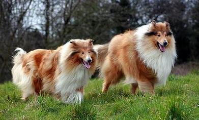 蘇格蘭牧羊犬好養嗎 - 愛我窩