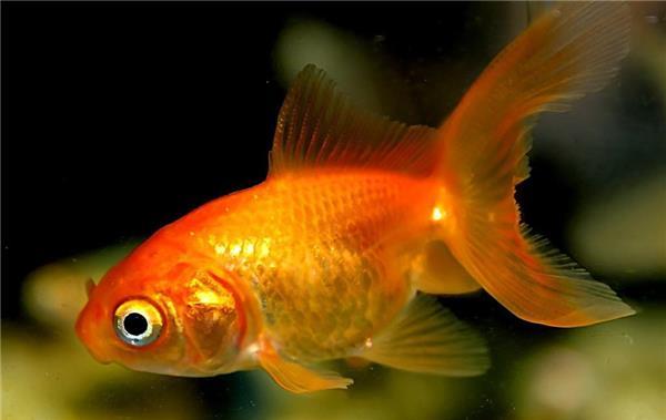養金魚多久換一次水 怎樣才能夠養好金魚 - 愛我窩