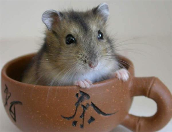 倉鼠怎麼養 飼養倉鼠正確方法 - 愛我窩