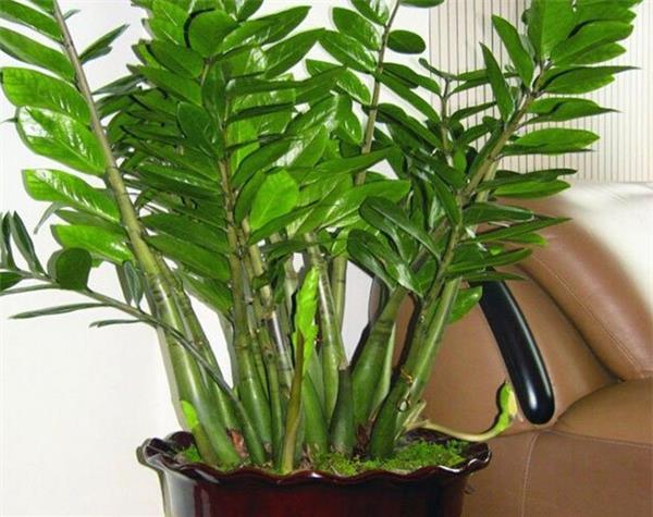 為大家詳細介紹金錢樹養殖方法以及風水作用 - 愛我窩