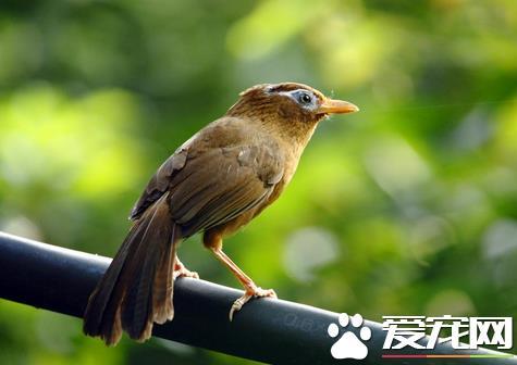 畫眉鳥怎樣分公母 從5個方面來區分公母 - 愛寵物咨詢網