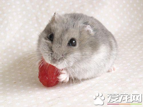 奶茶倉鼠怎麼養 需要充足的食物和飲水 - 愛寵物咨詢網