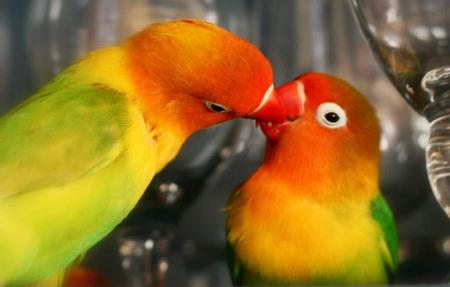 牡丹鸚鵡吃什麼 給鸚鵡提供一些穀物的種子 - 愛寵物咨詢網