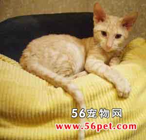 沙特爾貓 - 愛寵物咨詢網