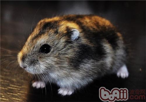 三線倉鼠的生活環境 - 愛寵物咨詢網