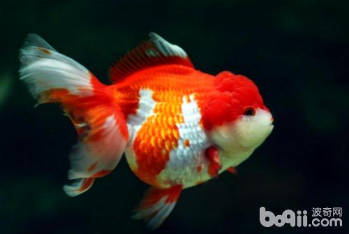 獅子頭金魚如何飼養 - 愛寵物咨詢網