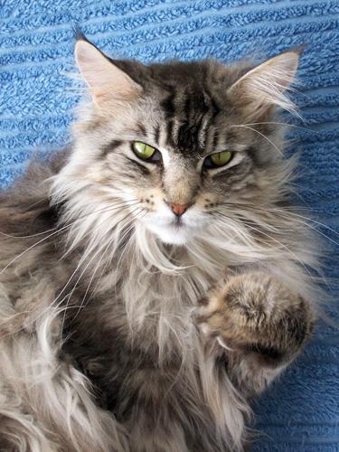 緬因貓多少錢一隻 有哪些生活習性 - 愛寵物咨詢網