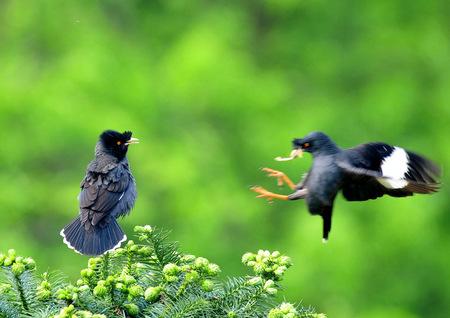 八哥鳥怎麼養 八哥的飼養方法和調教技巧 - 愛寵物咨詢網