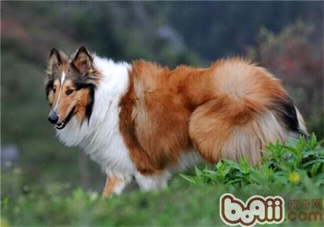 蘇格蘭牧羊犬性格 - 愛寵物咨詢網